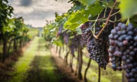 """Estate, consorzi vini lombardi in festa tra vigneti e cantine Prandini (AscoVilo): """"Enoturismo farà ripartire il comparto"""""""